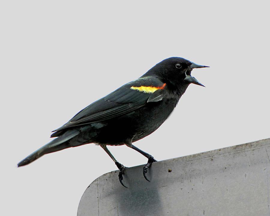 Tri-Colored Blackbird by Bart Blumberg