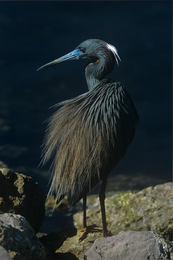 Tri Colored Heron Displaying Full Breeding Plumage by John Harmon
