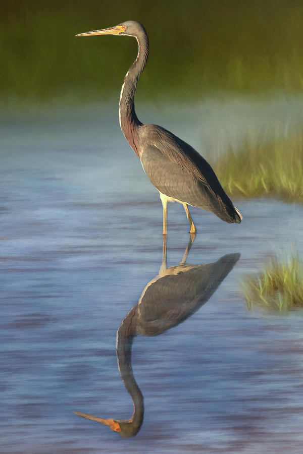 Tri-colored Heron Photograph - Tri-colored Reflections by Donna Kennedy
