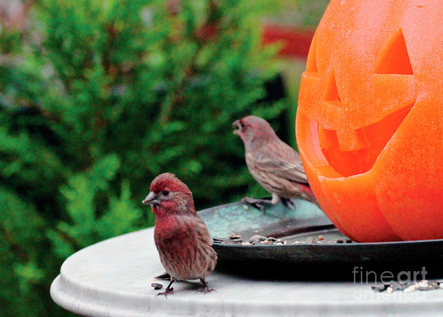 Wildbird Photograph - House Finches Trick OR Treating by Patricia Youngquist