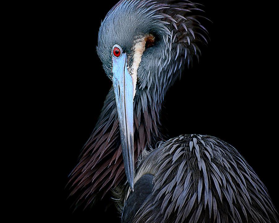 Heron Photograph - Tricolor by Christina Skibicki