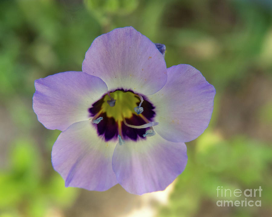 Tricolor Flower by Christy Garavetto