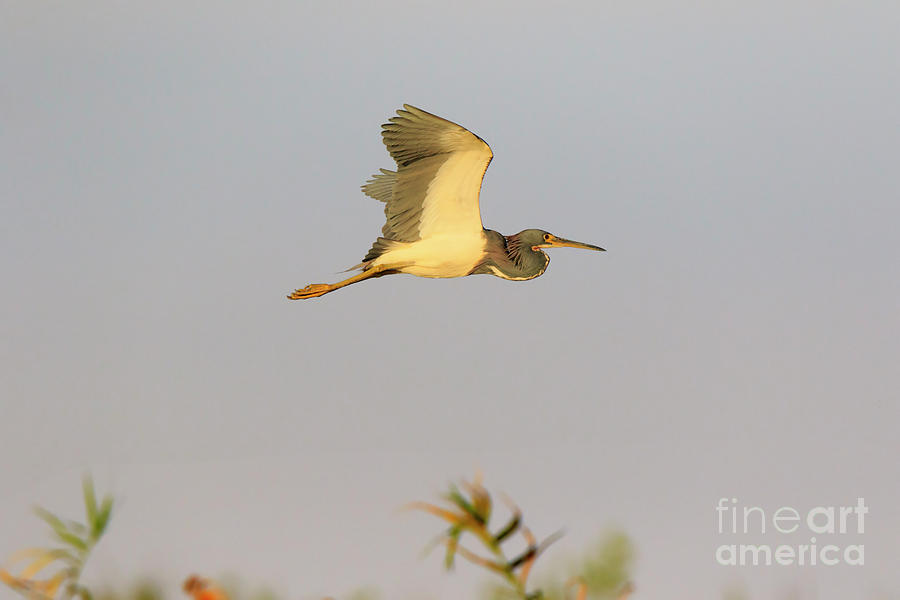 Garças do mundo Tricolored-heron-egretta-tricolor-in-flight-louise-heusinkveld