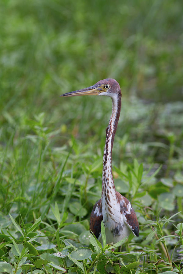 Tricolored Heron In The Green Photograph
