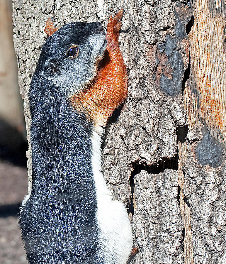 Squirrel Photograph - Tricolored Squirrel by Kenneth Albin