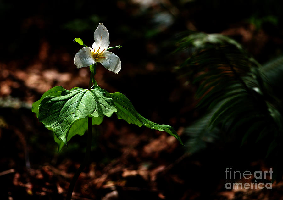 Trillium Photograph - Trillium In The Woods by Sharon Talson