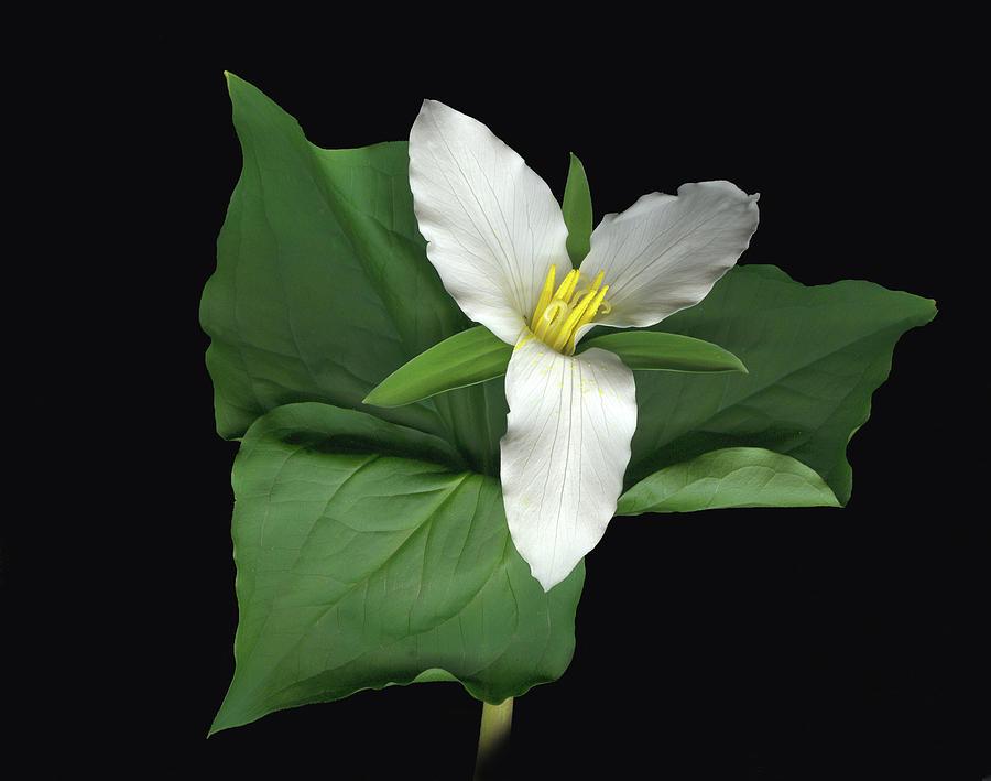 Liliaceae Digital Art - Trillium by Sandi F Hutchins