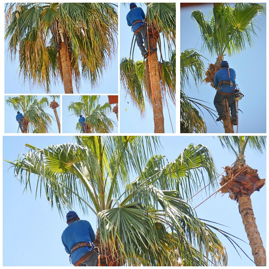 Man Photograph - Trimming The Palm Trees by Jay Milo