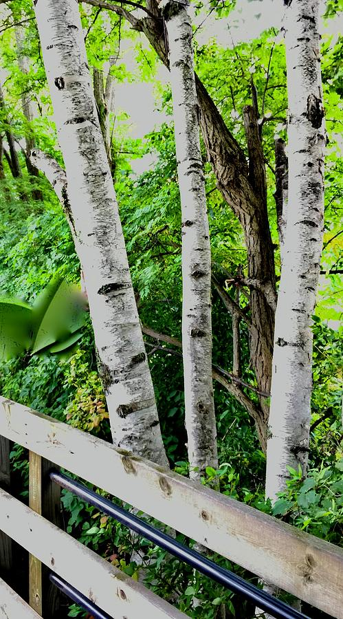 Trio Of Birches Photograph