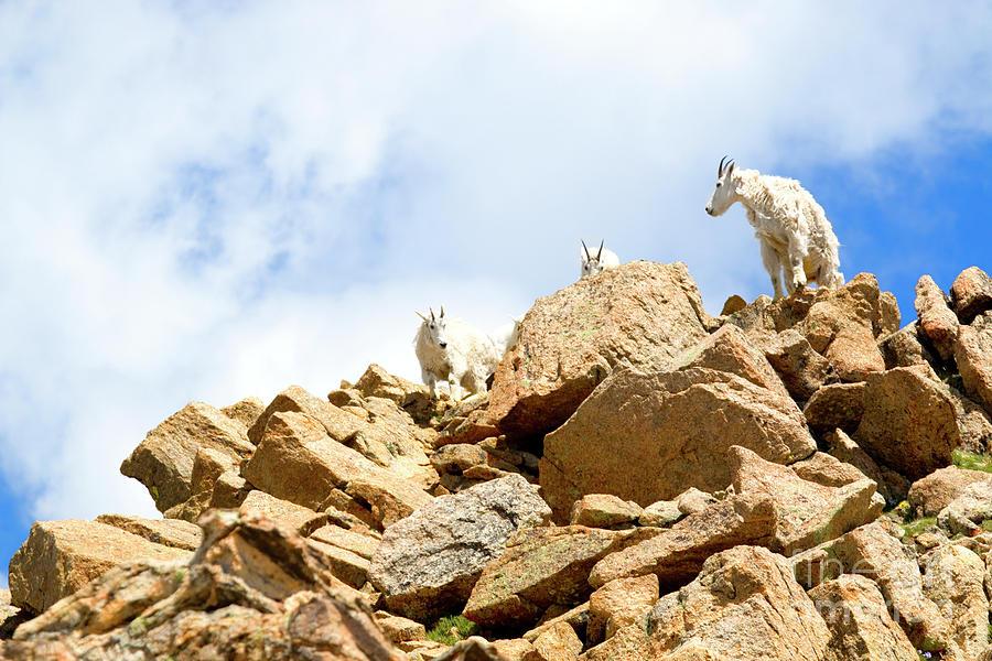Trio Of Mountain Goats Photograph