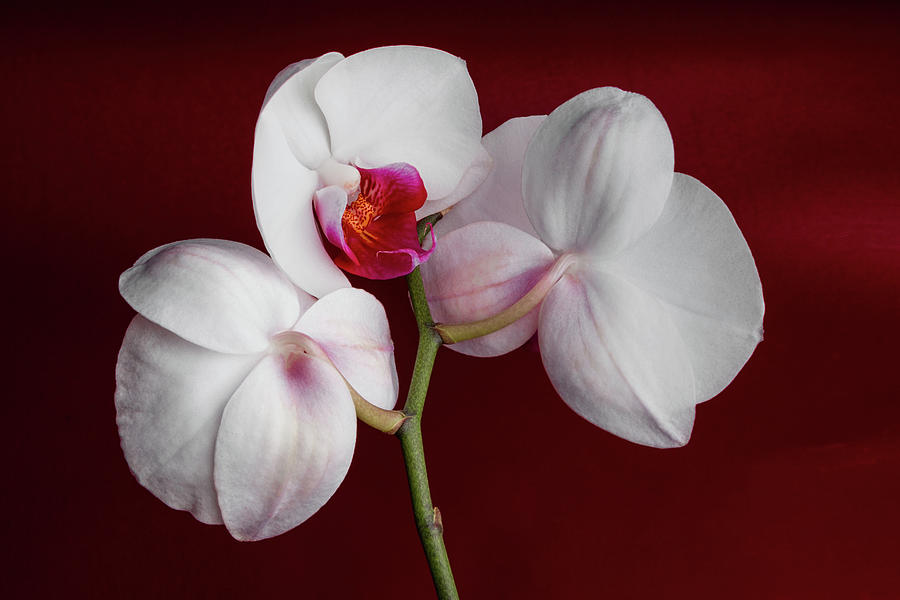 Flower Photograph - Trio Of Orchids by Tom Mc Nemar