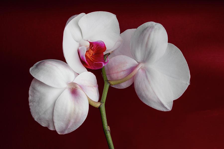 Flower Photograph - Trio Of Orchids by Tom Mc Nemar