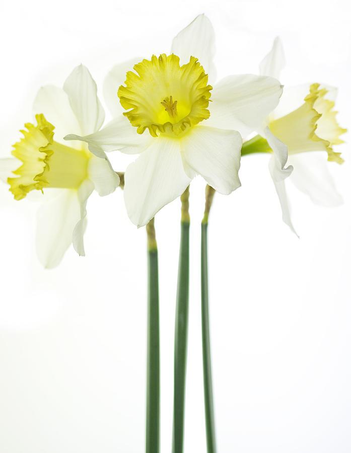 Daffodils Photograph - Trio by Rebecca Cozart