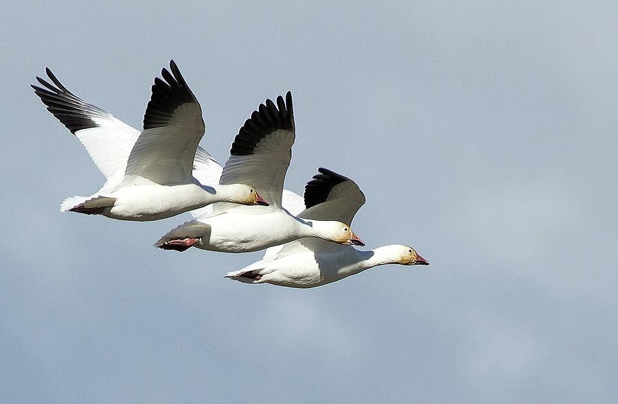 Snow Geese Photograph - Triple Play by Sheldon Bilsker