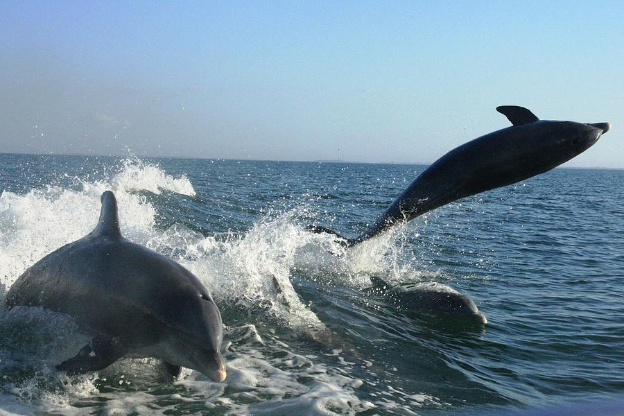 Dolphin Photograph - Triple Treat by Tara Moorman Photography