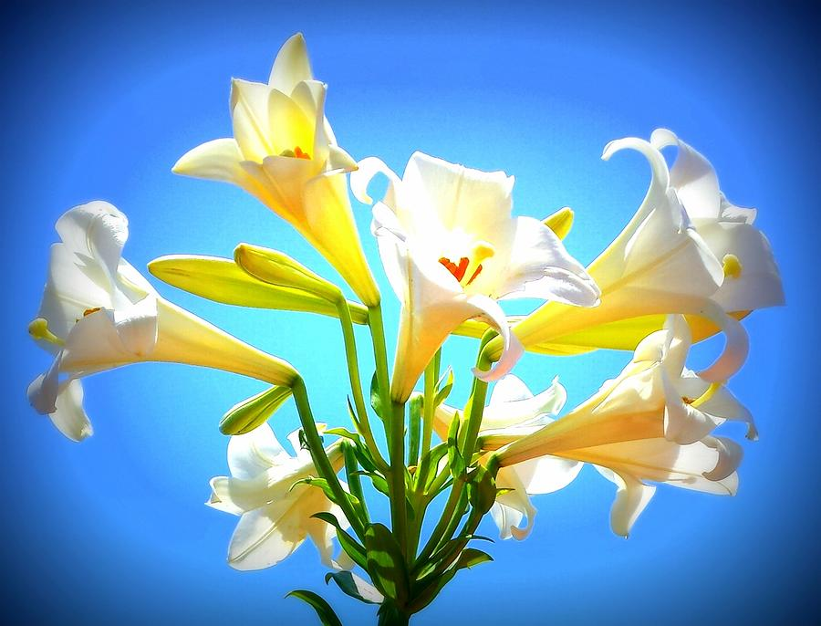 Triumphant  Easter Lilies by Karen J Shine