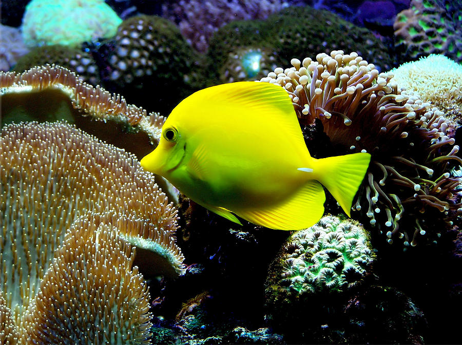Fish Photograph - Tropical Beauty by Karen M Scovill