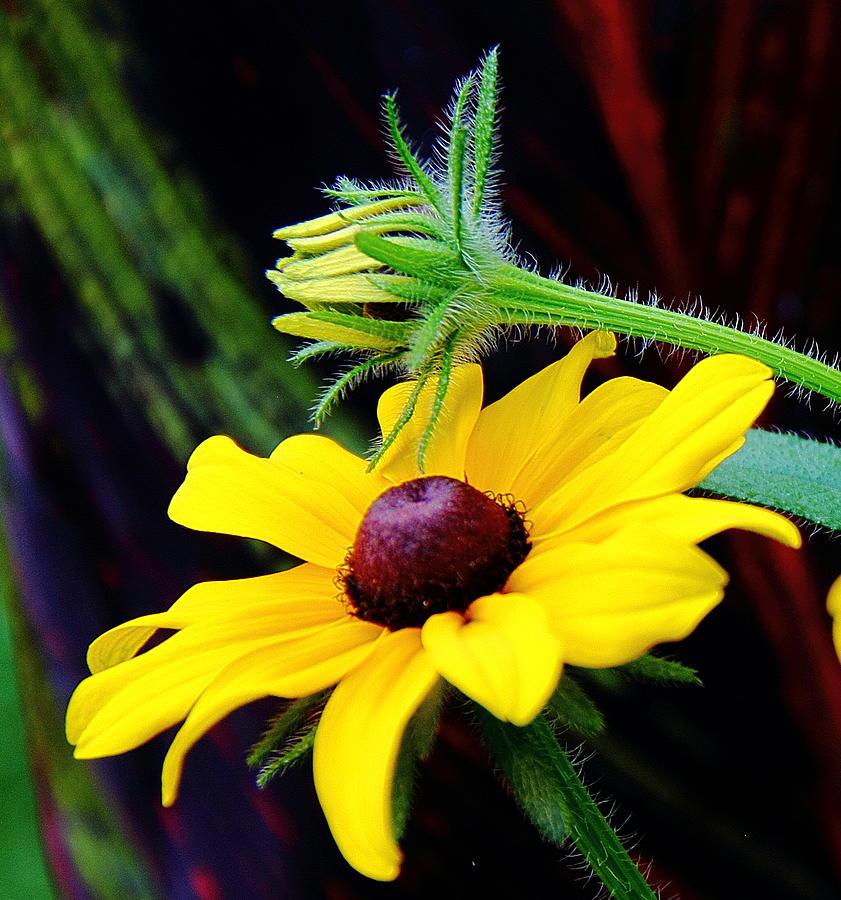 Tropical Canna Photograph - Tropical Canna Susan by Allen Nice-Webb