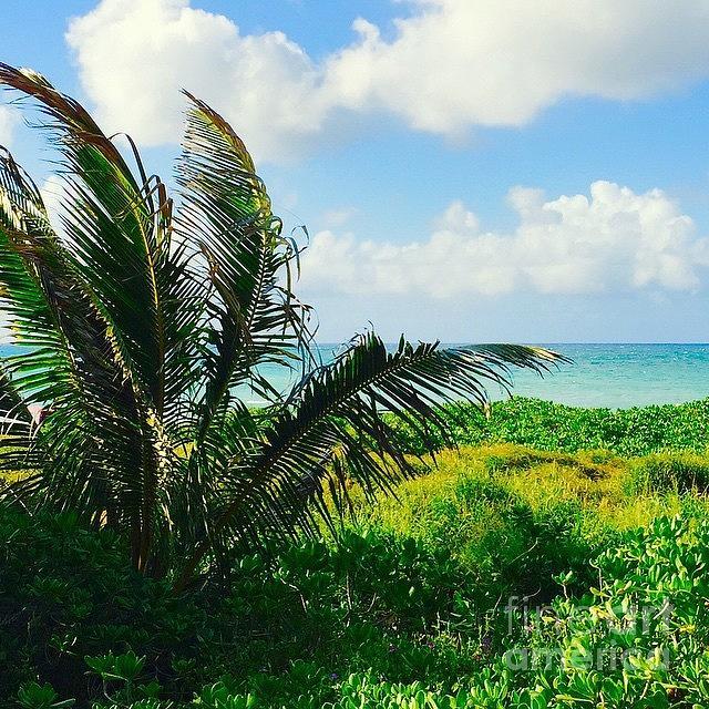 Hawaii Photograph - Hawaiian Coconut Palm by Sharon Mau
