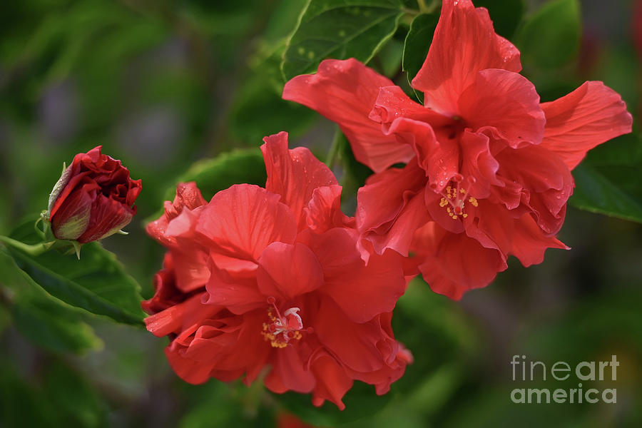 Tropical Hibiscus Rosa Sinensis Celia Double Red Photograph By