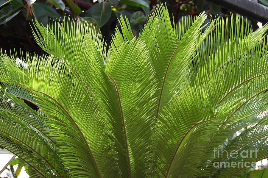 Fern Photograph - Tropical by Kathy Bradley