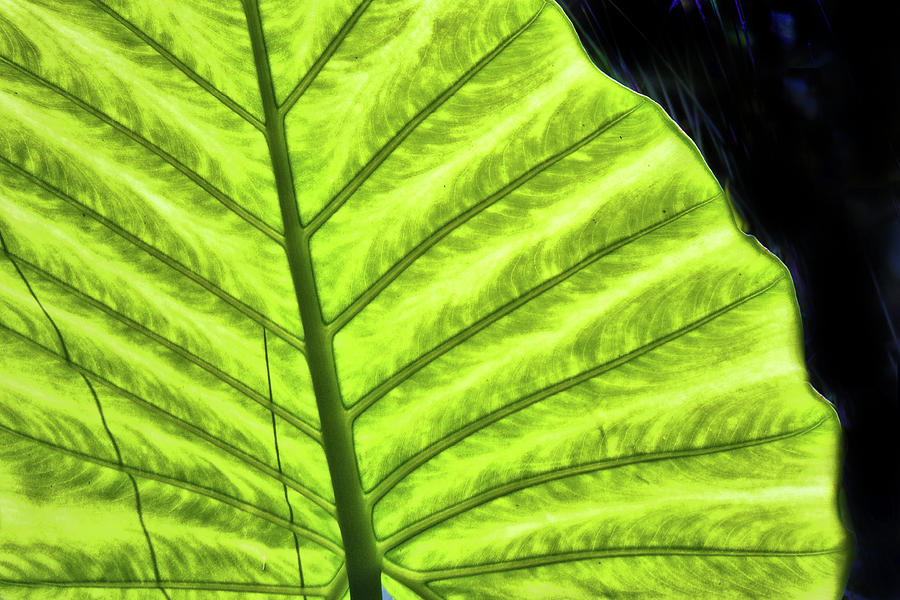 Tropical Leaf Photograph