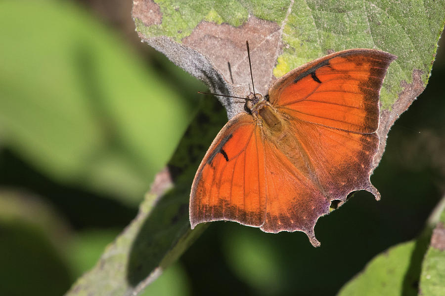 Tropical Leafwing, Anaea aidea by Jim and Lynne Weber