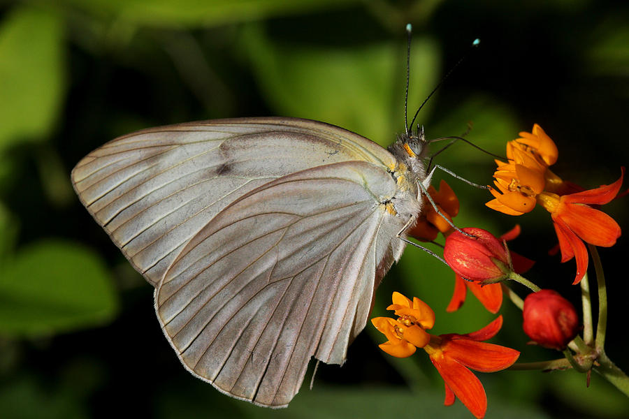 White Photograph - Tropical White Butterfly by April Wietrecki Green