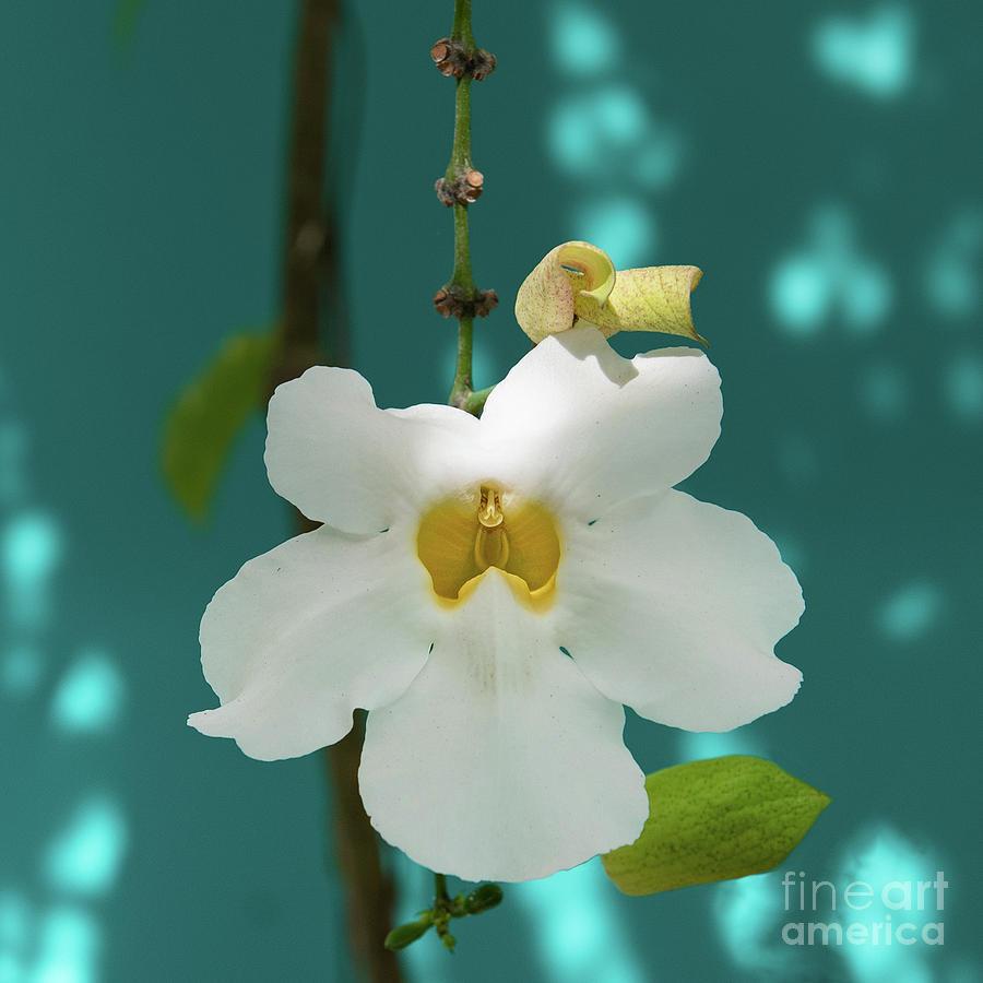 Tropical White Mandevillea Flower Photograph By Jackie Follett