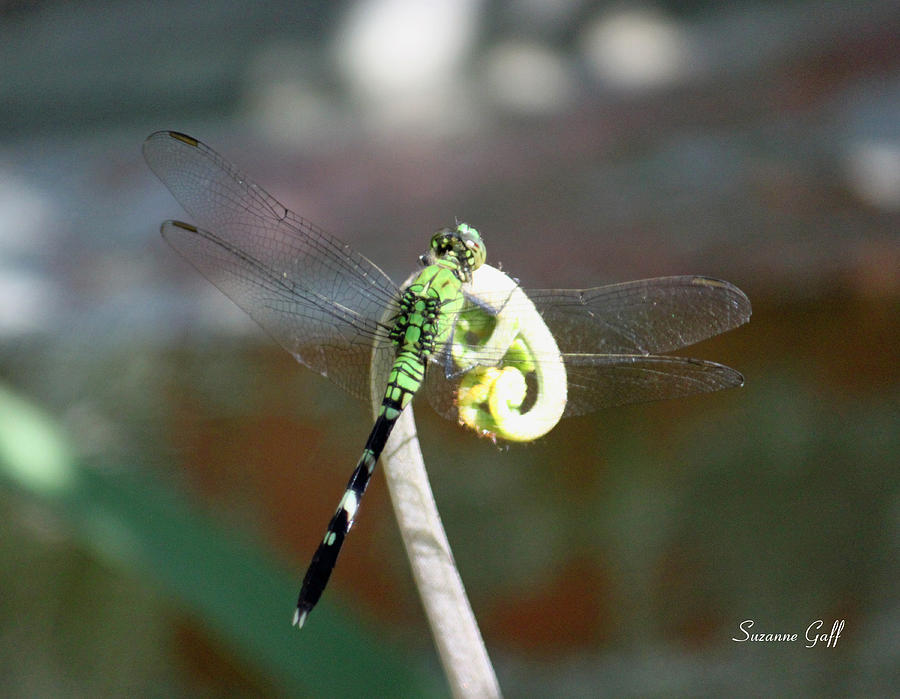 Dragonfly Photograph - True Colors by Suzanne Gaff