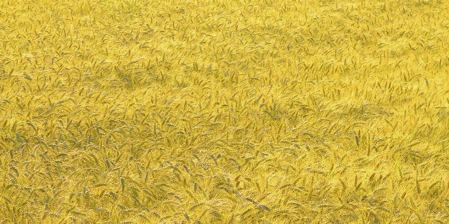 Landscape Photograph - True Gold by Rainer Stark