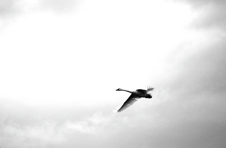 Snow Goose Photograph - Trumpeter Swan by Brian OKelly