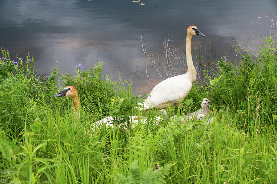 Waterfowl Photograph - Trumpeter Swan Family - Portrait by Mikel Classen