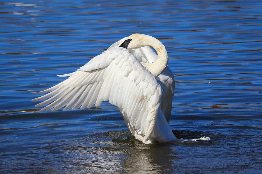 Trumpeter Photograph - Trumpeter Swan  by Kimberly Kotzian