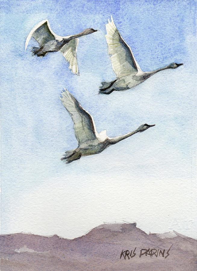 Watercolor Painting - Trumpeter Swan Study by Kris Parins