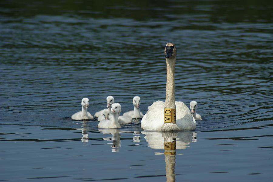 Nature Photograph - Trumpeter Swan With Cygnets by Ron Read