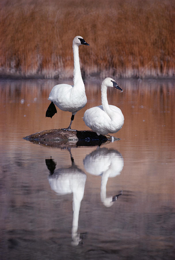 Trumpeter Swans Yellowstone Photograph by Michael Quinton