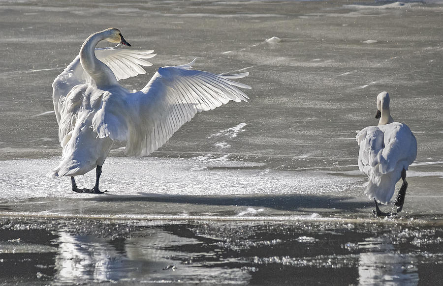 Tongass National Forest Photograph - Trumpeters Wintering On The Thorne by Richard Rivard