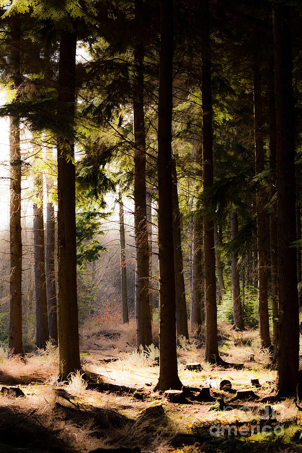 trunks of upright pine trees in forest with sunshine by Peter Noyce