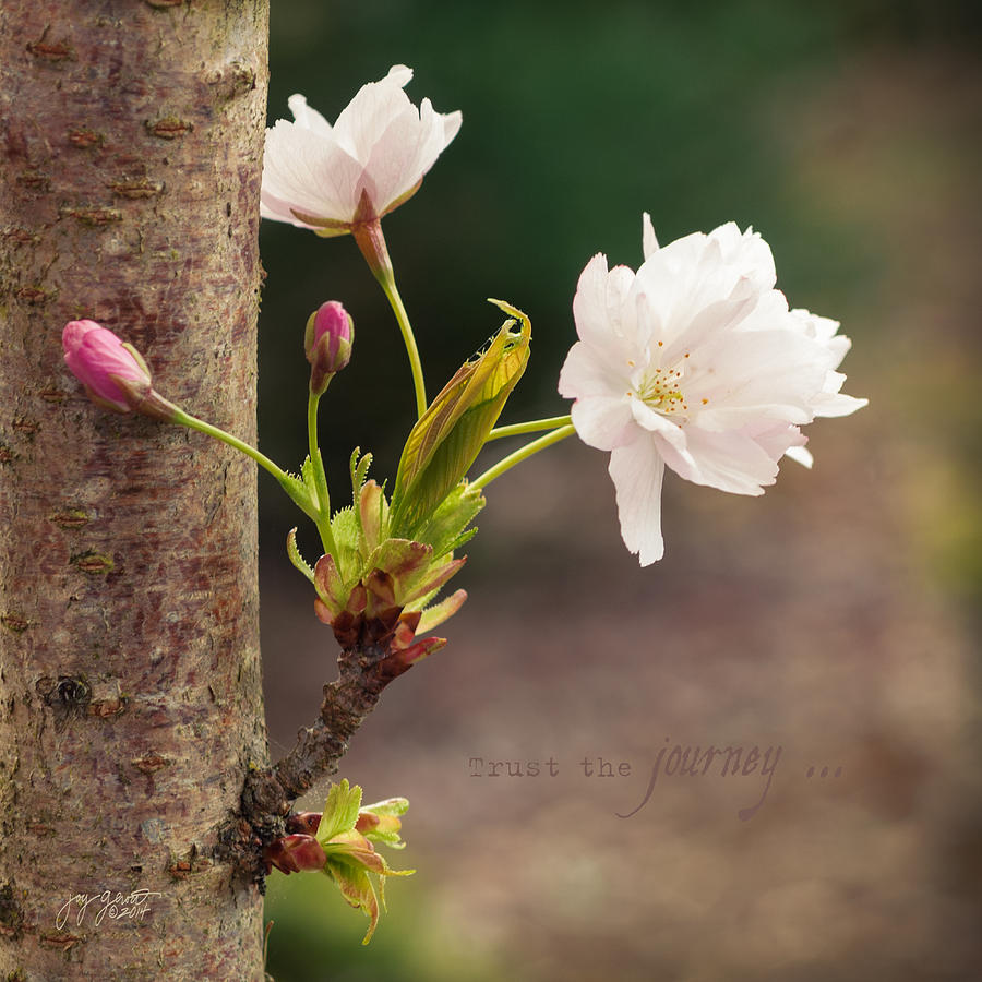 Cherry Blossoms Photograph - Trust the Journey by Joy Gerow