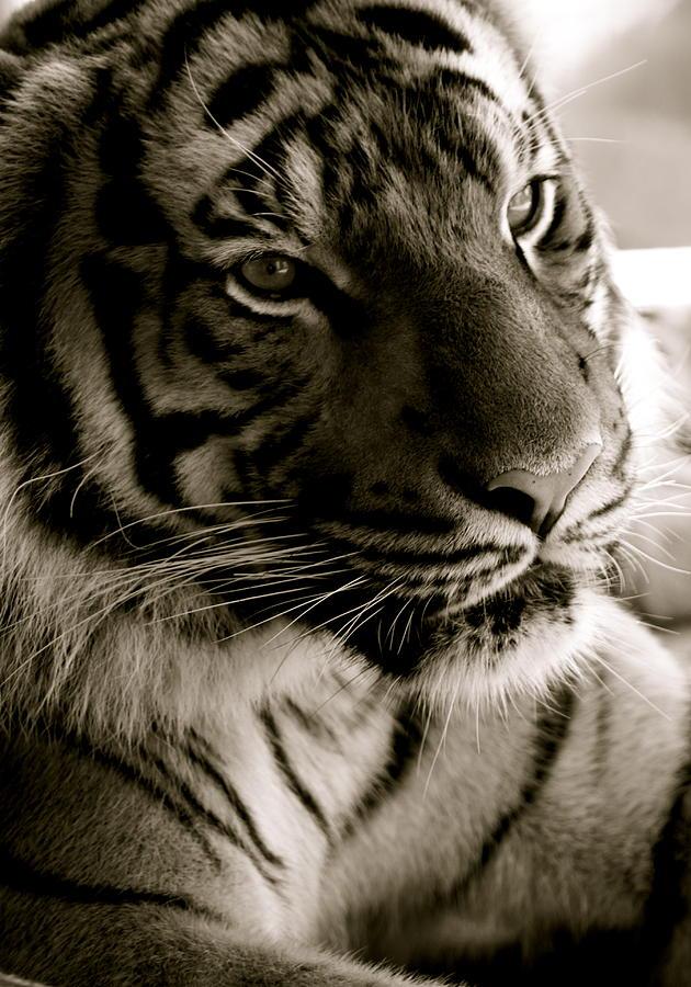 Tiger Photograph - Trying To Nap by Jennifer  Lane