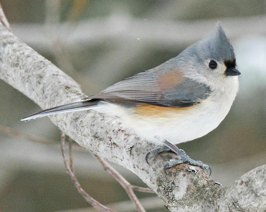 Avian Photograph - Tuffted Titmouse 0411 by Michael Peychich