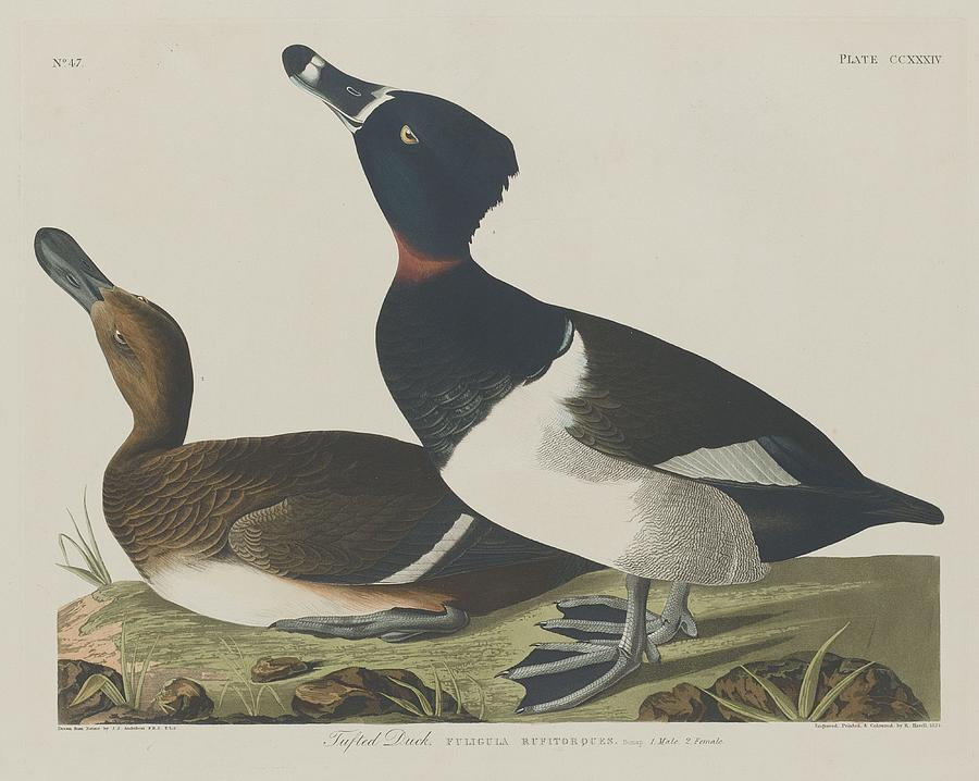 Audubon Drawing - Tufted Duck by Dreyer Wildlife Print Collections