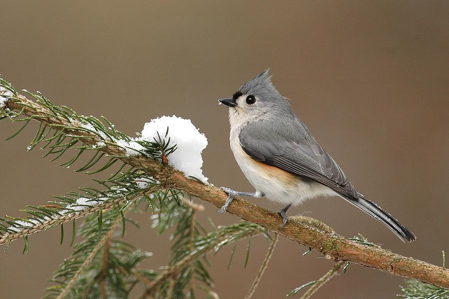 Tufted Titmouse Photograph - Tufted Titmouse by Alan Lenk