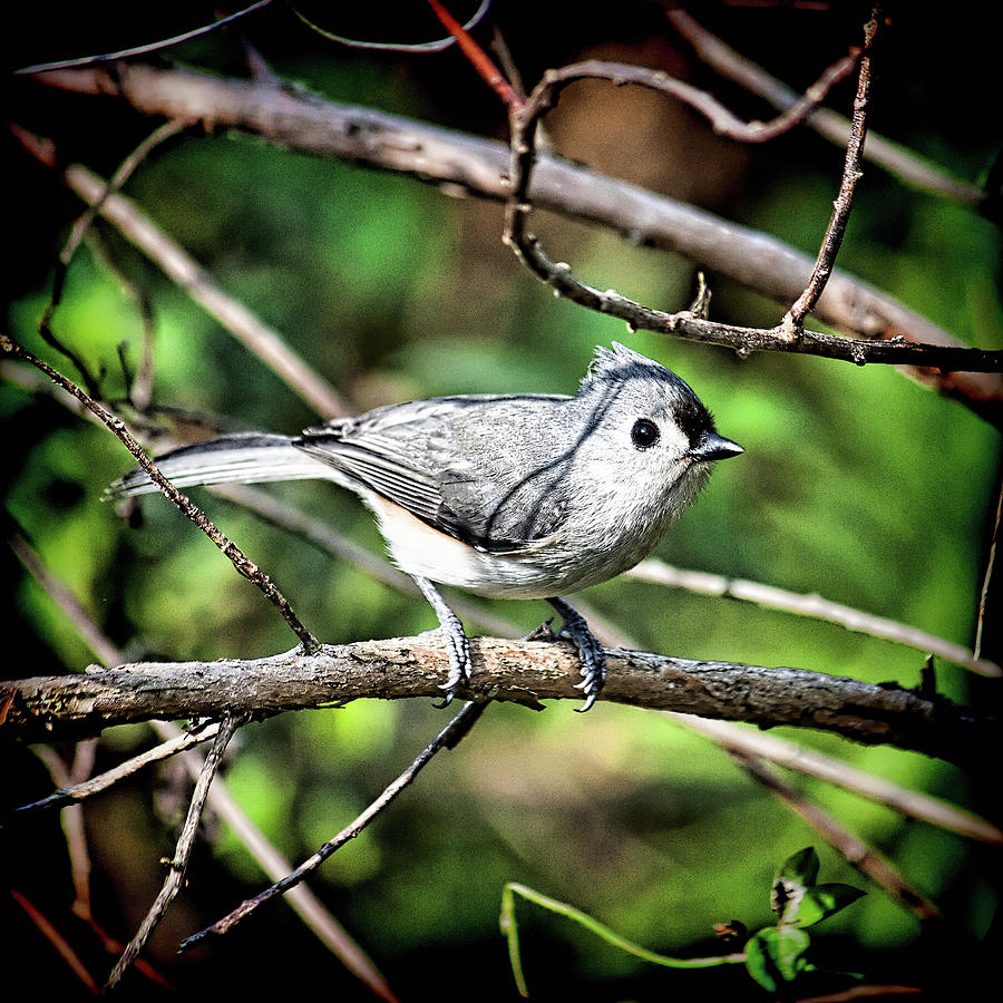 Tufted Titmouse by Andrew Chianese