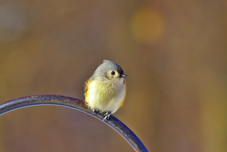 Tufted Titmouse Photograph - Tufted Titmouse by Brad Chambers
