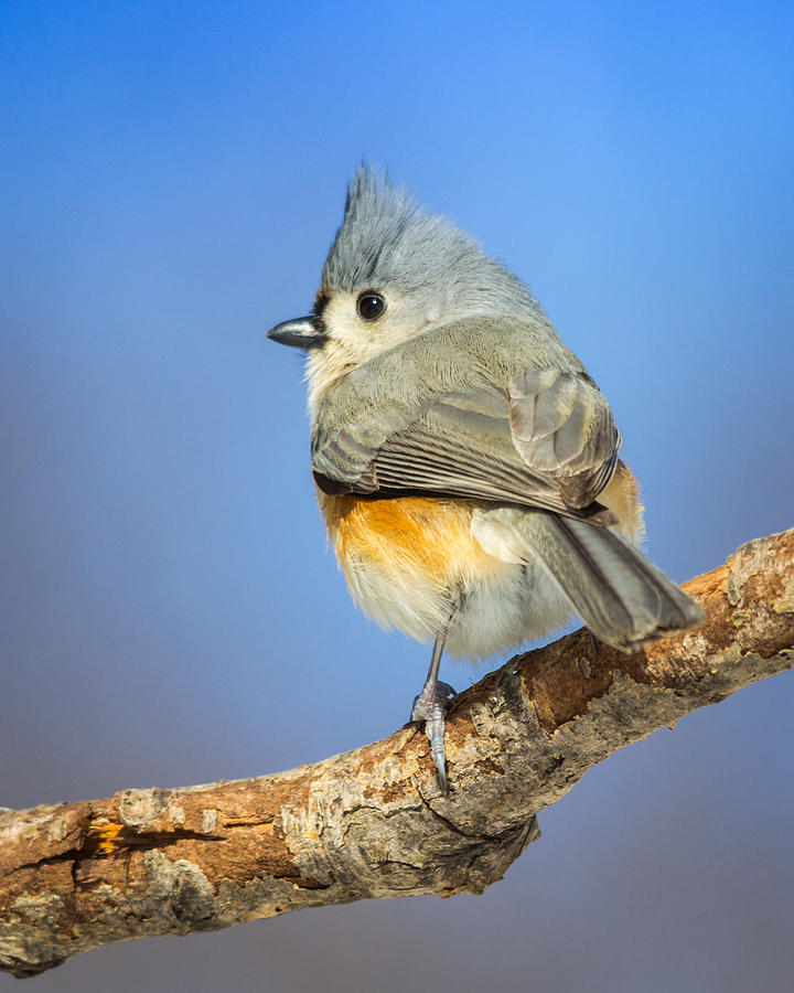 Titmouse Photograph - Tufted Titmouse by Kimberly Kotzian