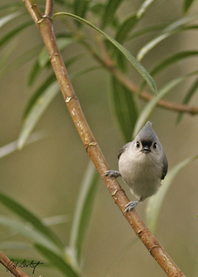 Birds Photograph - Tufted Titmouse by Phill Doherty