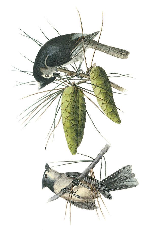 John James Audubon Painting - Tufted Titmoust by John James Audubon