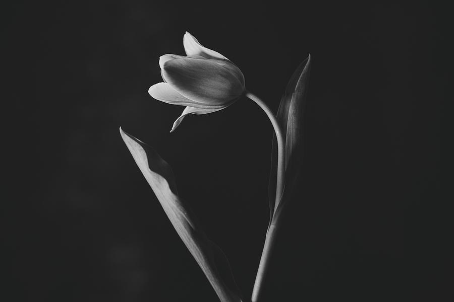 Tulip #0151 by Desmond Manny